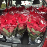 Two pickups and a hatchback--all full of poinsettias for the sale!